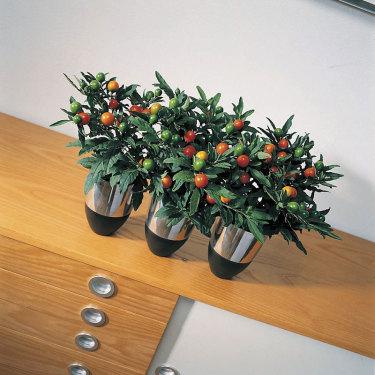 Korallbär, _Solanum pseudocapsicum_.