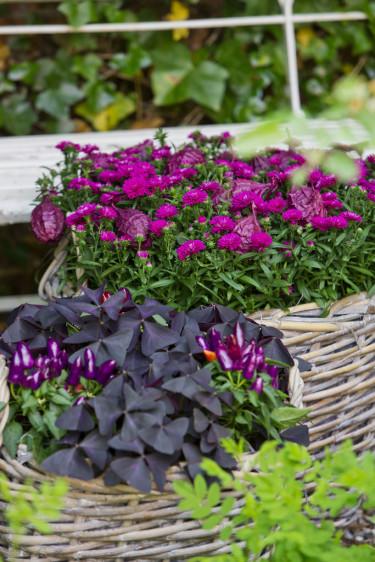 Aster passar fint ihop med andra växter också. Foto: Floradania