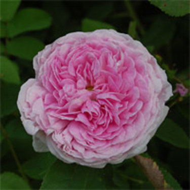 'Aimable Amie'