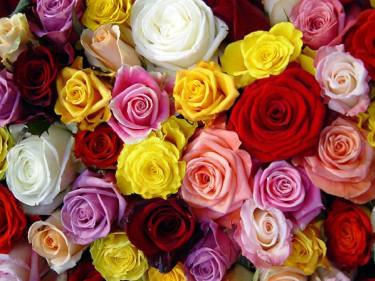 Rosor. Foto: Blomsterfrämjandet.