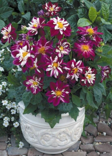 Goldalia 'Rose'. Foto: Blomsterfrämjandet/Syngenta.