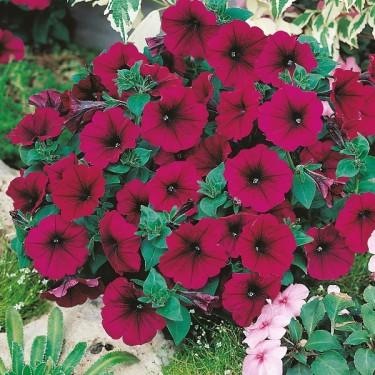 Petunia x hybrida 'Mirage Velvet'