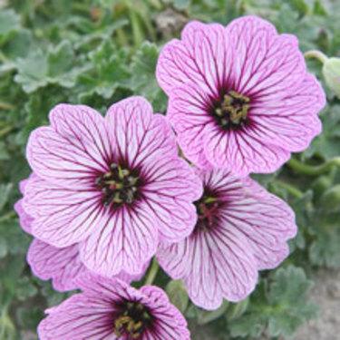 **Silvernäva 'Ballerina'**, _Geranium cinereum_, med rosa blommor mot silvrigt bladverk. Beställ här: [Perennerbjudande](http://erbjudande.odla.nu/bpr/?p=1)