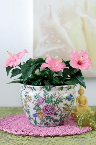 Exotiska terrassväxter, _Hibiscus rosa-sinensis_.