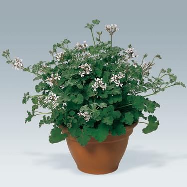 Pelargonium x fragransFoto: Odla