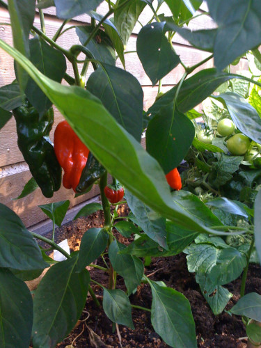 Chili och tomat.
