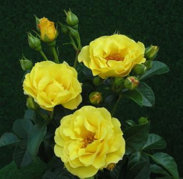 Lichtkönigin Lucia får fräscht gula blommor och remonterar hela sommaren. Doftar underbart! Foto:  [Odla.nuShop](http://erbjudande.odla.nu/rr/)
