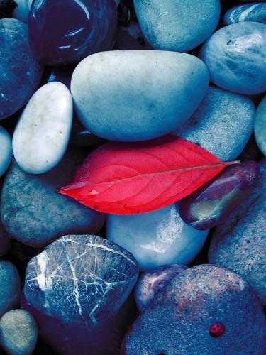 Ett ensamt blad från fågelbärsträd blad stenarna. Foto: Sylvia Svensson