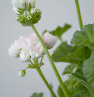 Mårbacka tulpanpelargon. Foto: Blomsterfrämjandet.