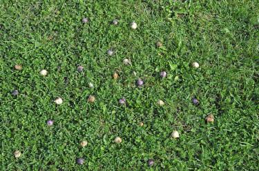 Blanda smålökar och släng på gräsmattan. Gräv ner där de landar.
