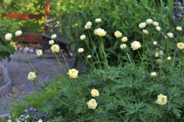 'Alabaster' och 'Cheddar' är två snarlika sorter med gräddgula blommor med gul mitt.