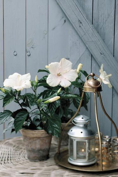 _Hibiscus rosa-sinensis_