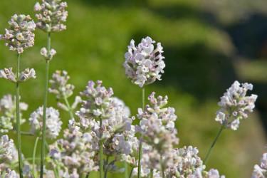 Lavendel, _Lavandula Aromatico_, Silver. Foto: Blomsterfrämjandet/Syngenta