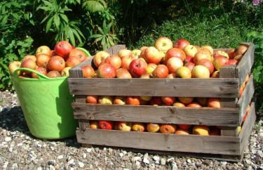 Mycket fallfrukt blir det! Nu kan vi hjälpas åt att ta hand om frukten. Foto: Katarina Kihlberg