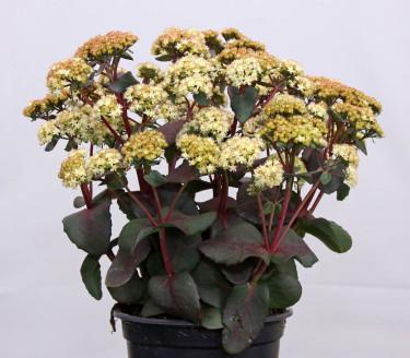 Den gulblommande kärleksörten _Hylotelephium_ (syn. _Sedum_), 'Eline'. Foto: CBN New Plants