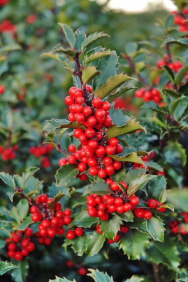 Blå järnek sätter rikligt med vackra röda bär, välkända från julkort.