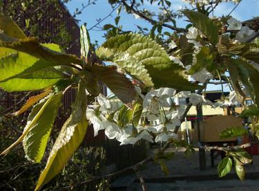 Fågelbär eller sötkörsbär, _Prunus avium_.