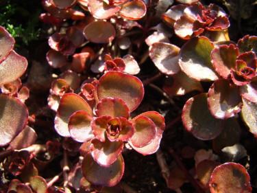 Rödbladig sedumsort som täcker marken helt.