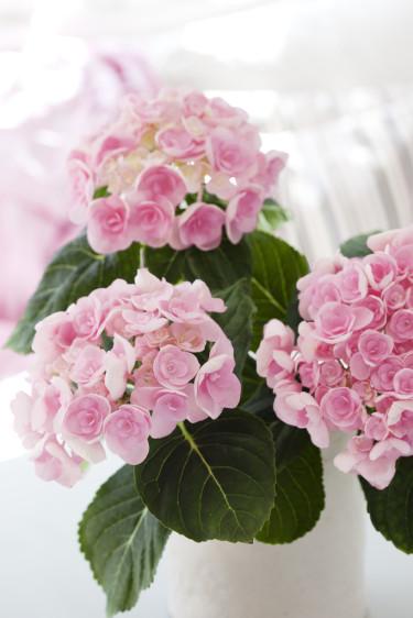 Rosa hortensia 'Papillon' är ljuv och väldigt vacker. Foto: Blomsterfrämjandet/Anna Skoog