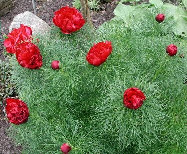 Dillpion, _Paeonia tenuifolia_ 'Plena'. Foto: Bernt Svensson