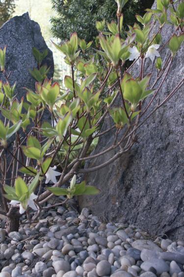 Den vackraste azalean av alla är nog ändå _Azalea quinquefolium_!