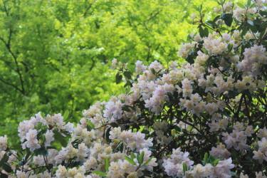 Vårblommande Rhododendron / Foto: Anna Theorin