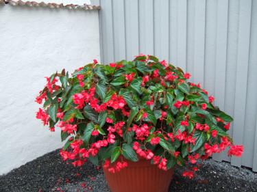 Begonia 'Dragon Wing Red' ™
