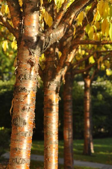 Näverhägg, _Prunus maacki_, med sin gyllene stam. Bladen i höstfärg.