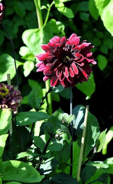 _Dahlia_ 'Karma Chock' med mörka blad och svartrödbrun blomma  Foto: Sylvia Svensson