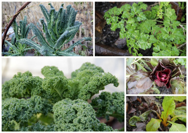 Vintergröna blad ute i köksträdgården