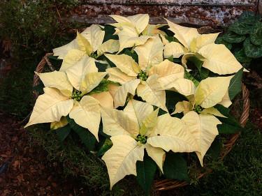 Vita julstjärnor. Arr+foto: Sylvia Svensson