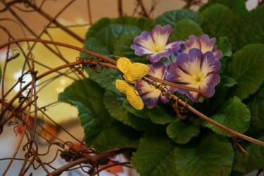 Primula lila/vit.