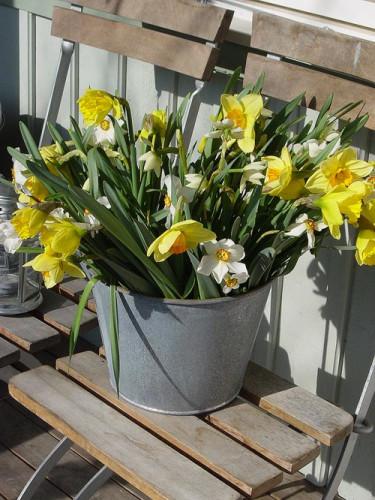Påsklilja, Narcissus pseudonarcissus_. Foto: Blomsterfrämjandet.