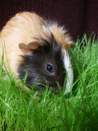 Friskt, grönt gräs mitt i vintern uppskattas av husets marsvin!