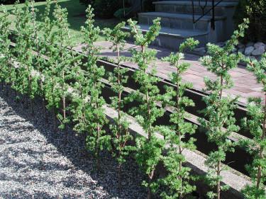 Nyplanterad lärkhäck med genomgående stam. Trimma bara sidorna.  Foto: Sylvia Svensson