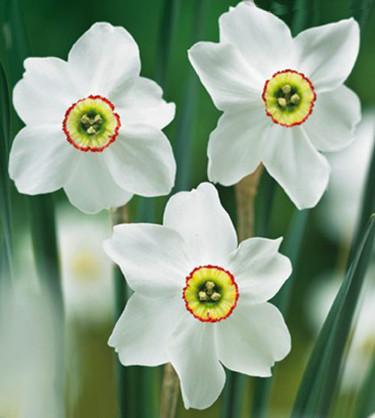 Narcissus poeticus 'Recurvus'. Foto: Odla.nu