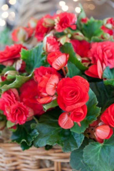Begonia i närbild.  Foto: Blomsterfrämjandet/Minna Mercke Schmidt
