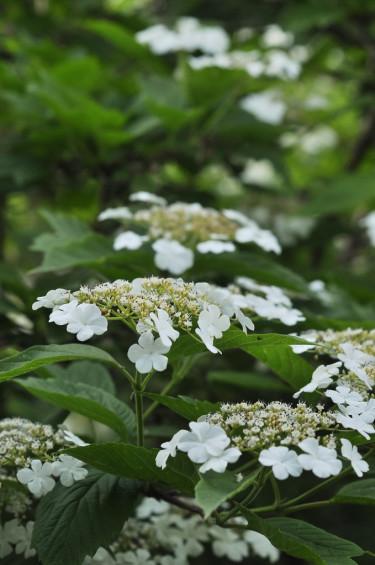 Skogsolvon har i likhet med hortensior sterila kantblommor som fungerar som skyltning för insekter. I mitten sitter de fertila blommorna.