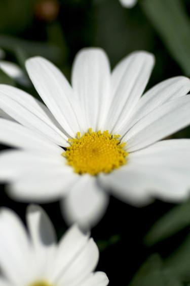Buskmargerit i närbild.  Foto: Blomsterfrämjandet