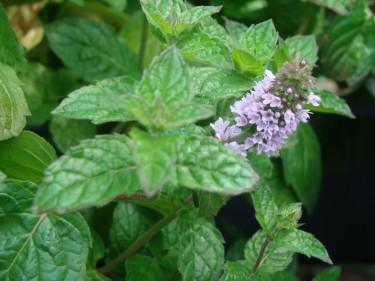 Skörda helst dina kryddor före blomning. Efter skörd kan de få växa fritt.  Foto: Katarina Kihlberg