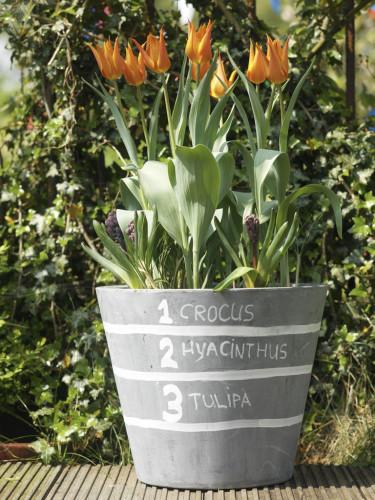 Lasange-plantering tredje blomningen.
