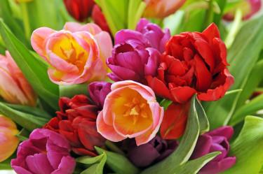 Tulpanbukett i blandade färger är mångas favorit. Foto: Blomsterfrämjandet