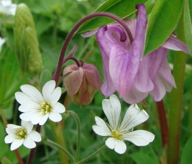 Akleja blommar tidigt på säsongen, precis när vi längtar som mest!