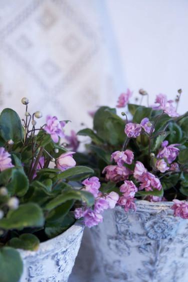 Saintpaulia 'Taita'. Foto: Blomsterfrämjandet.