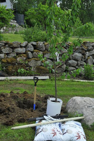 Samla det du behöver. Ställ trädet i vatten i en hink och gräv en grop. Foto: Bernt Svensson