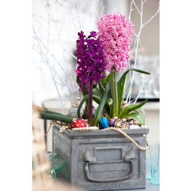 Hyacinter sprider juldoft. Foto: Blomsterfrämjandet
