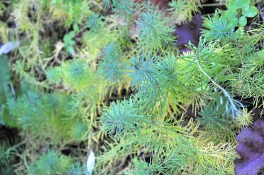 _Euphorbia cyparissias_, vårtörel på hösten. Foto: Bernt Svensson