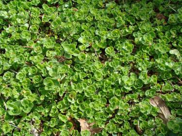 Fetknoppar som kryper och bildar en tät matta.