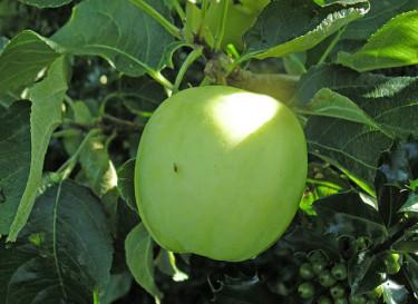 Det är friska frukter vi vill ha. Här äpple 'Transparente Blanche'. Foto: Sylvia Svensson