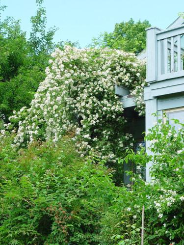 Låt honungsrosor klättra upp på takutsprång eller upp på balkongen. Foto: Lars Forslin